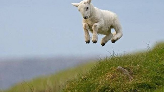 sheep_leap.jpg